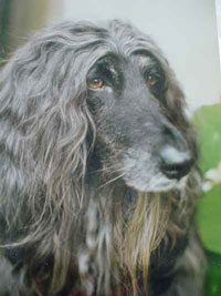 Elfin the Afghan hound